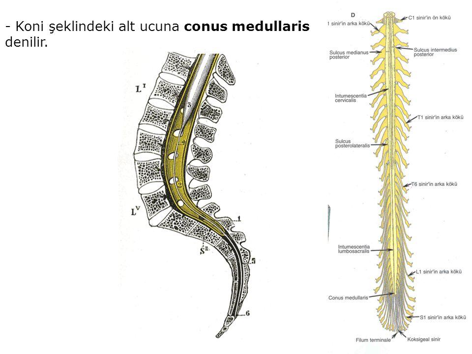 - Koni şeklindeki alt ucuna conus medullaris denilir.