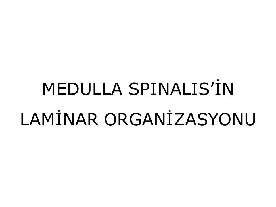 LAMİNAR ORGANİZASYONU