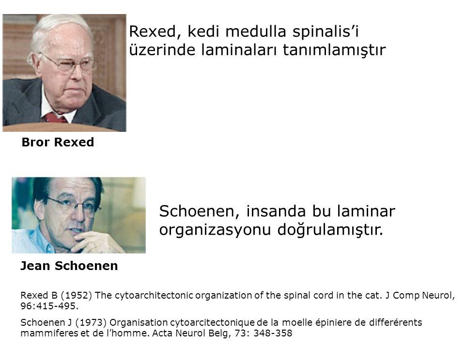 Rexed, kedi medulla spinalis'i üzerinde laminaları tanımlamıştır