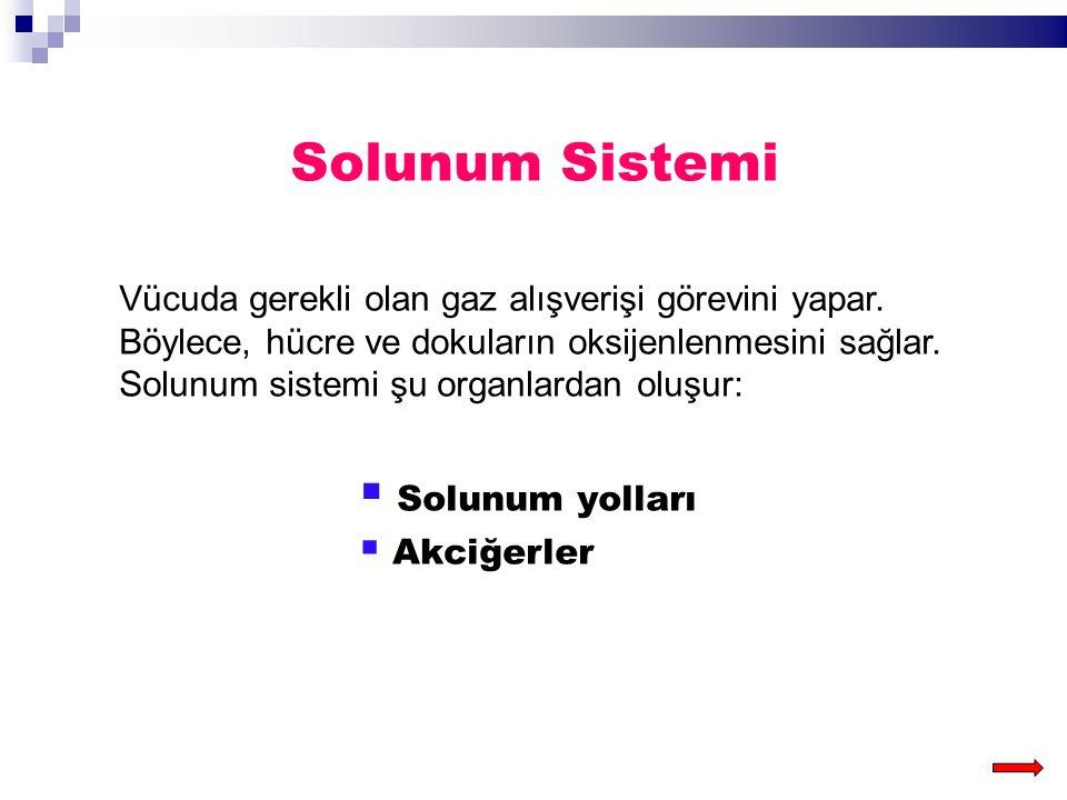 Solunum Sistemi Solunum yolları
