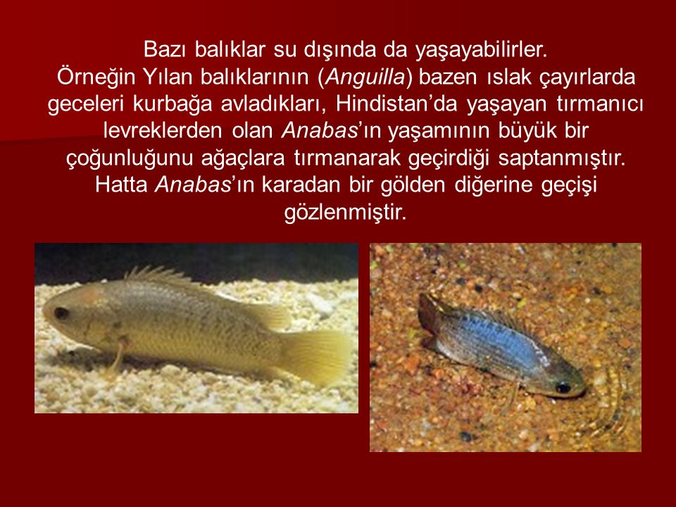 Bazı balıklar su dışında da yaşayabilirler.