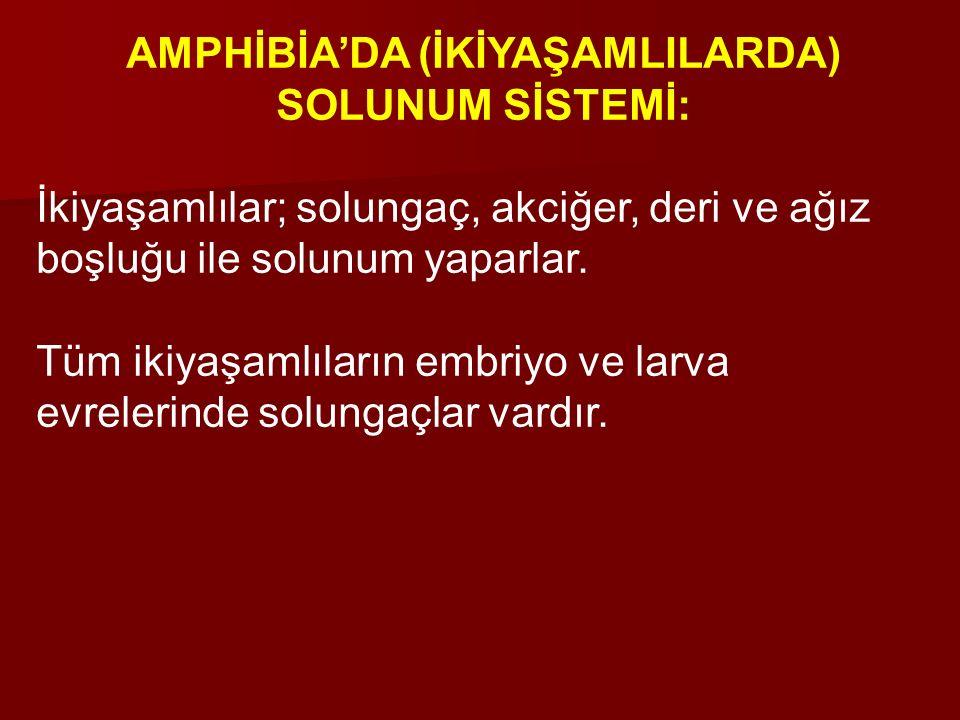 AMPHİBİA'DA (İKİYAŞAMLILARDA) SOLUNUM SİSTEMİ: