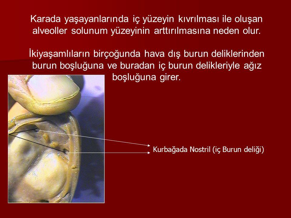 Karada yaşayanlarında iç yüzeyin kıvrılması ile oluşan alveoller solunum yüzeyinin arttırılmasına neden olur.