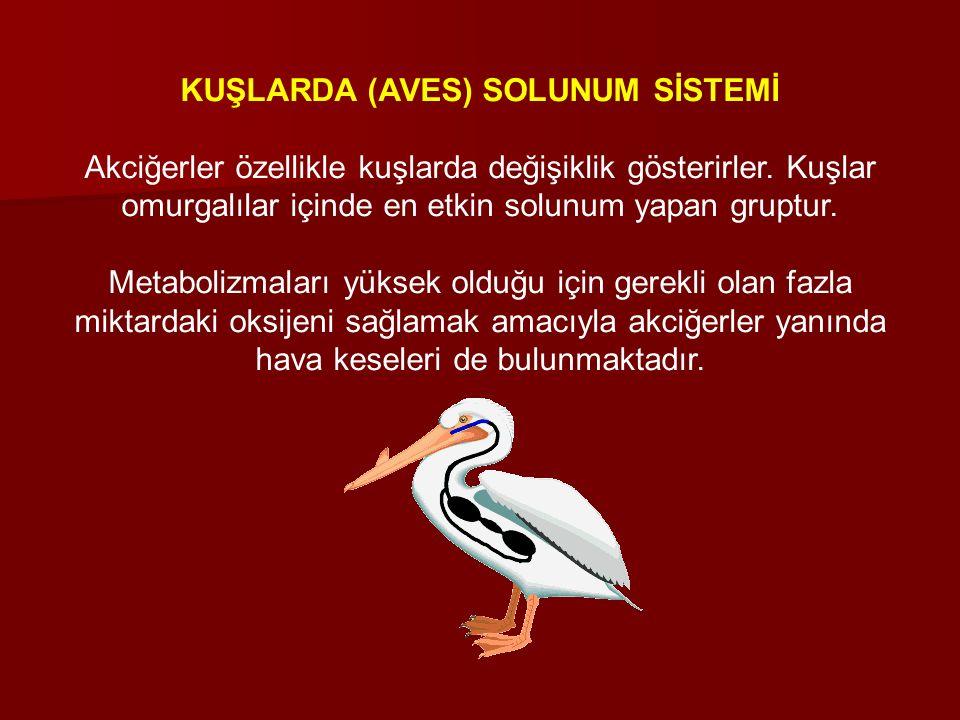 KUŞLARDA (AVES) SOLUNUM SİSTEMİ