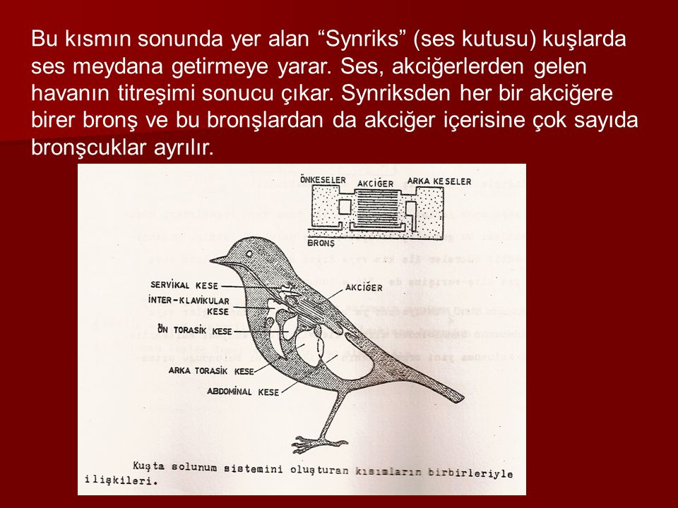 Bu kısmın sonunda yer alan Synriks (ses kutusu) kuşlarda ses meydana getirmeye yarar.