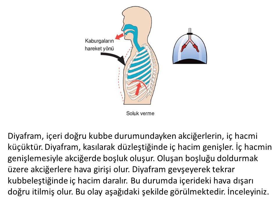 Diyafram, içeri doğru kubbe durumundayken akciğerlerin, iç hacmi küçüktür.