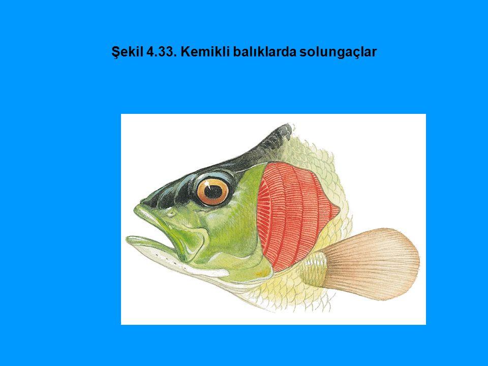 Şekil 4.33. Kemikli balıklarda solungaçlar