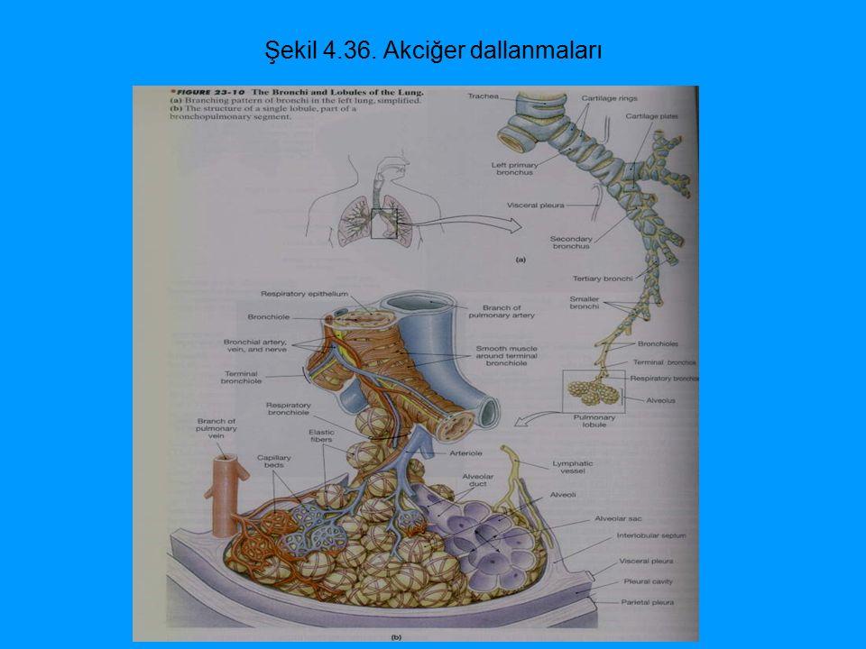 Şekil 4.36. Akciğer dallanmaları