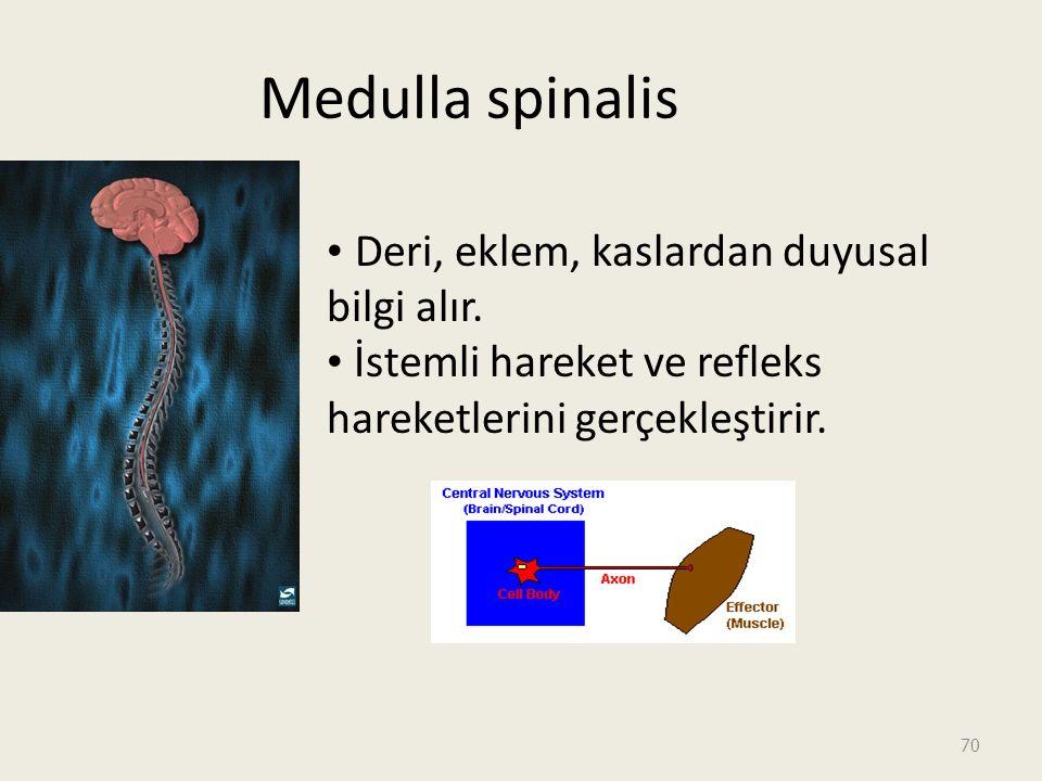 Medulla spinalis Deri, eklem, kaslardan duyusal bilgi alır.