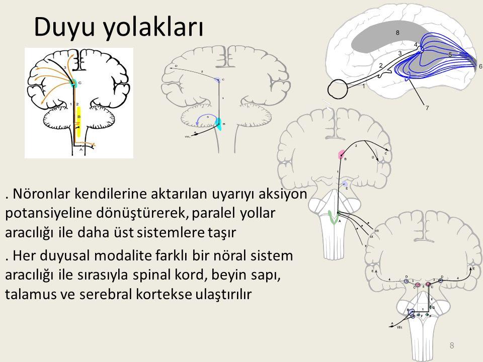 Duyu yolakları . Nöronlar kendilerine aktarılan uyarıyı aksiyon potansiyeline dönüştürerek, paralel yollar aracılığı ile daha üst sistemlere taşır.