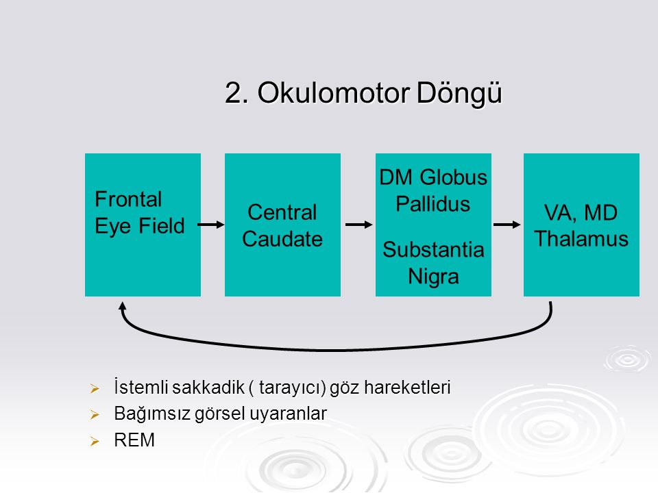 2. Okulomotor Döngü Frontal Eye Field Central Caudate DM Globus