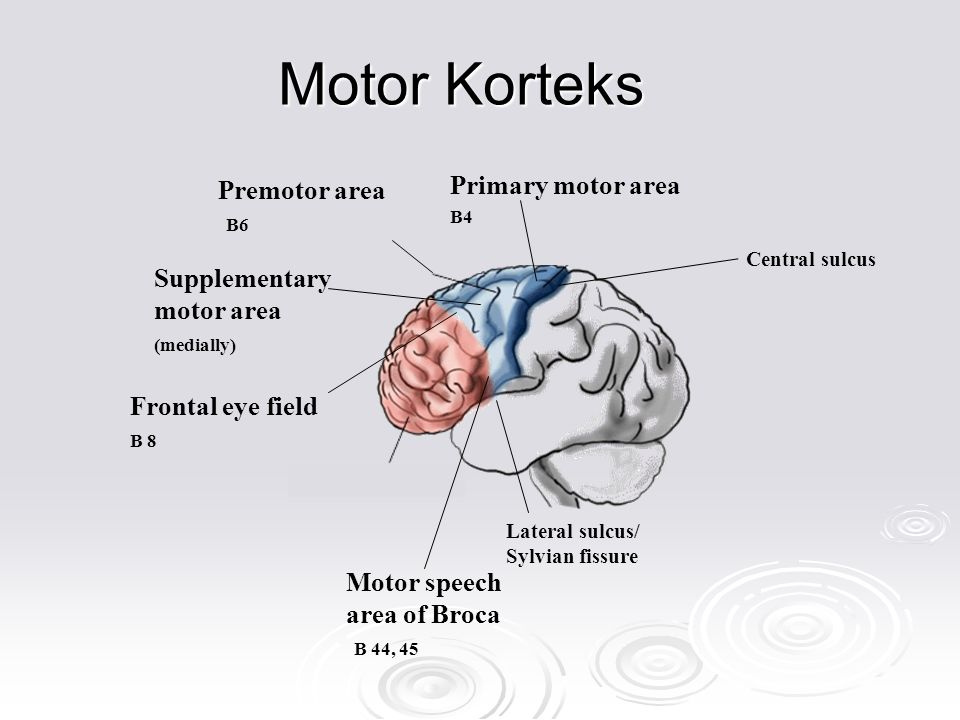 Motor Korteks Primary motor area Premotor area Supplementary