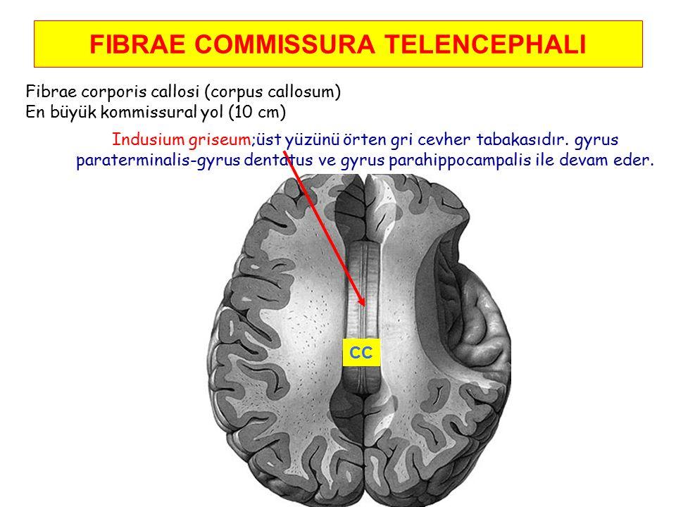 FIBRAE COMMISSURA TELENCEPHALI