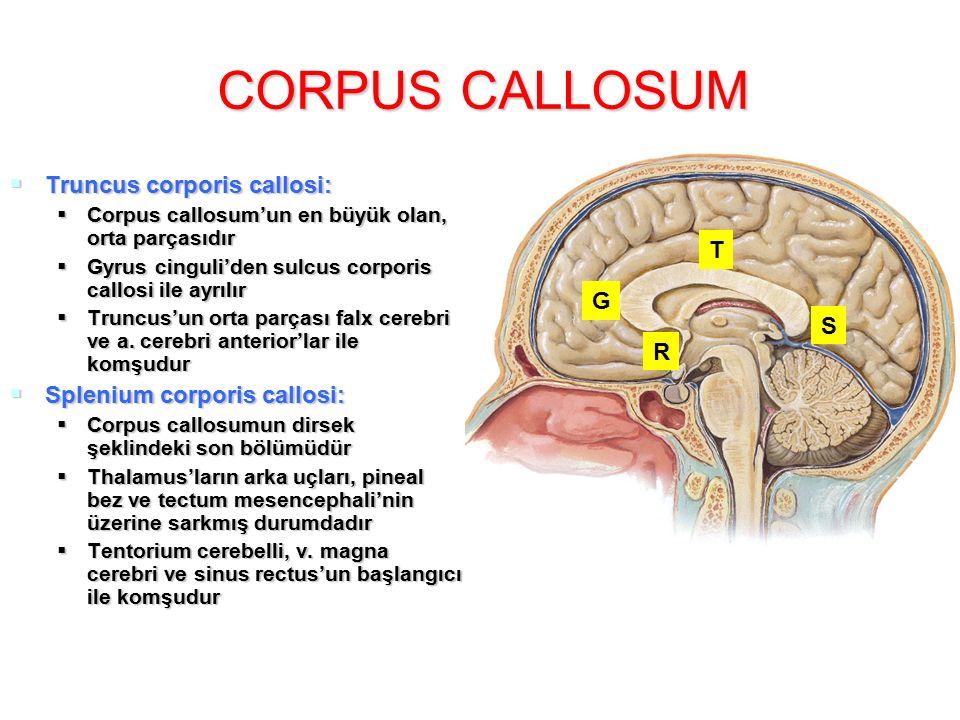 CORPUS CALLOSUM Truncus corporis callosi: T Splenium corporis callosi:
