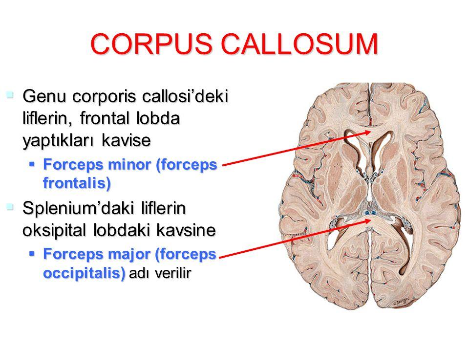 CORPUS CALLOSUM Genu corporis callosi'deki liflerin, frontal lobda yaptıkları kavise. Forceps minor (forceps frontalis)