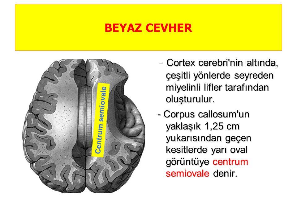 BEYAZ CEVHER - Cortex cerebri nin altında, çeşitli yönlerde seyreden miyelinli lifler tarafından oluşturulur.