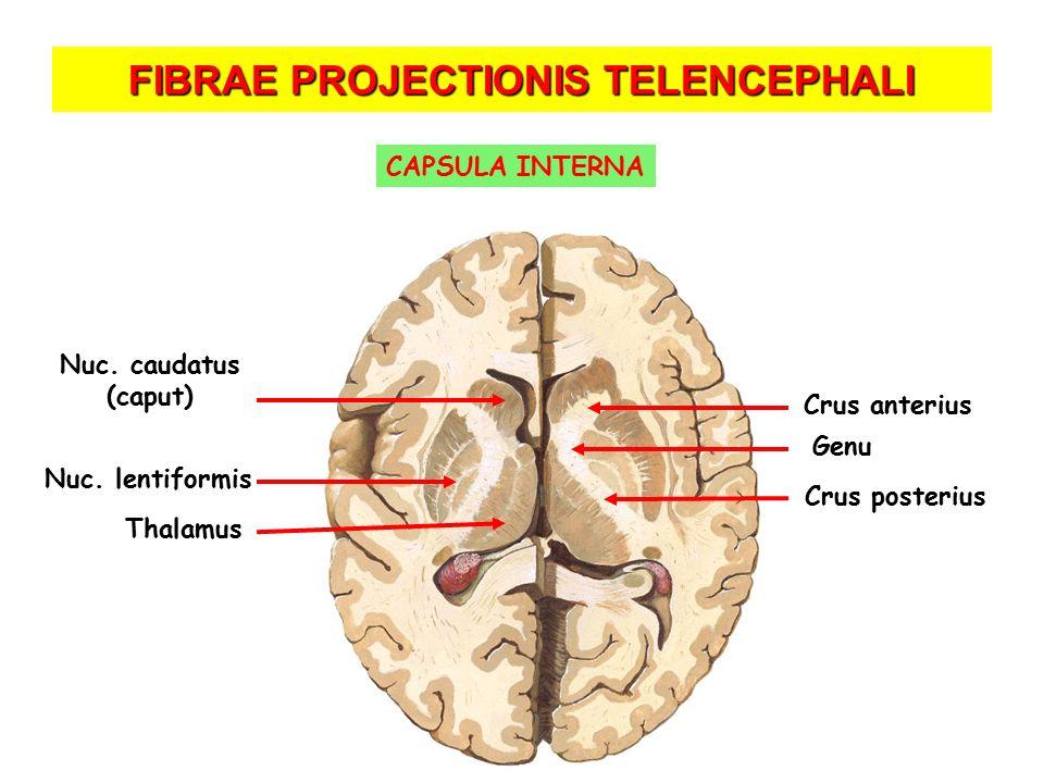 FIBRAE PROJECTIONIS TELENCEPHALI