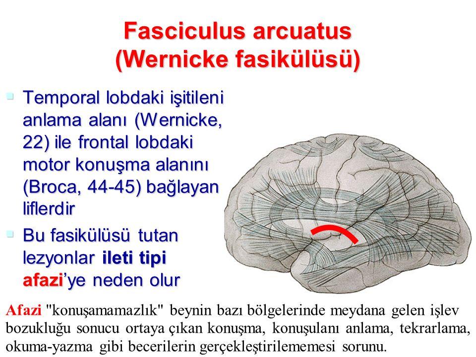 Fasciculus arcuatus (Wernicke fasikülüsü)
