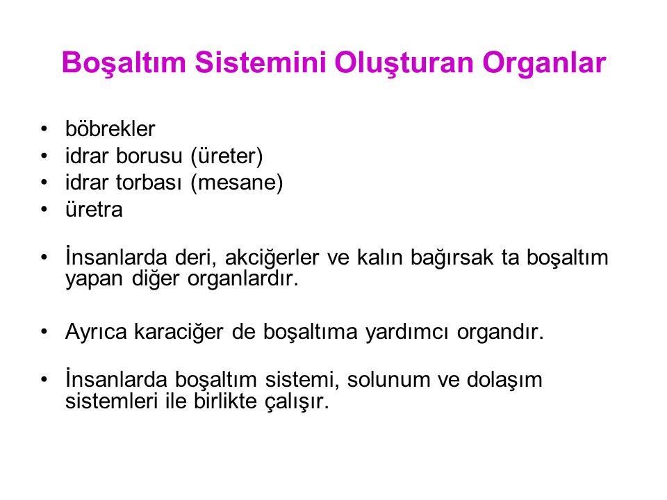 Boşaltım Sistemini Oluşturan Organlar