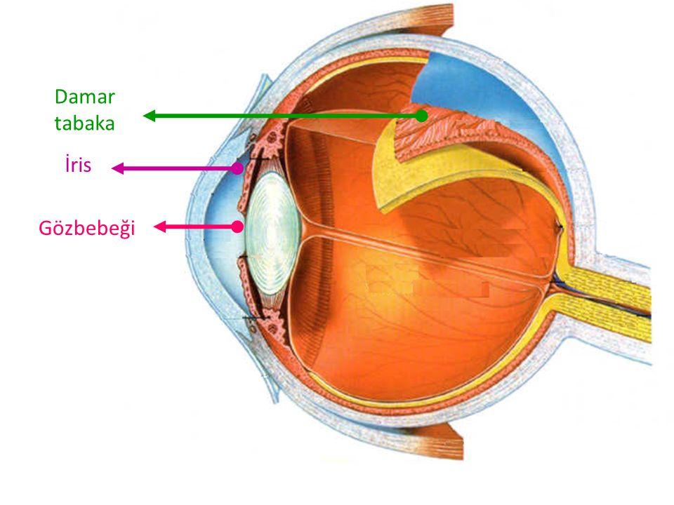 Damar tabaka İris Gözbebeği