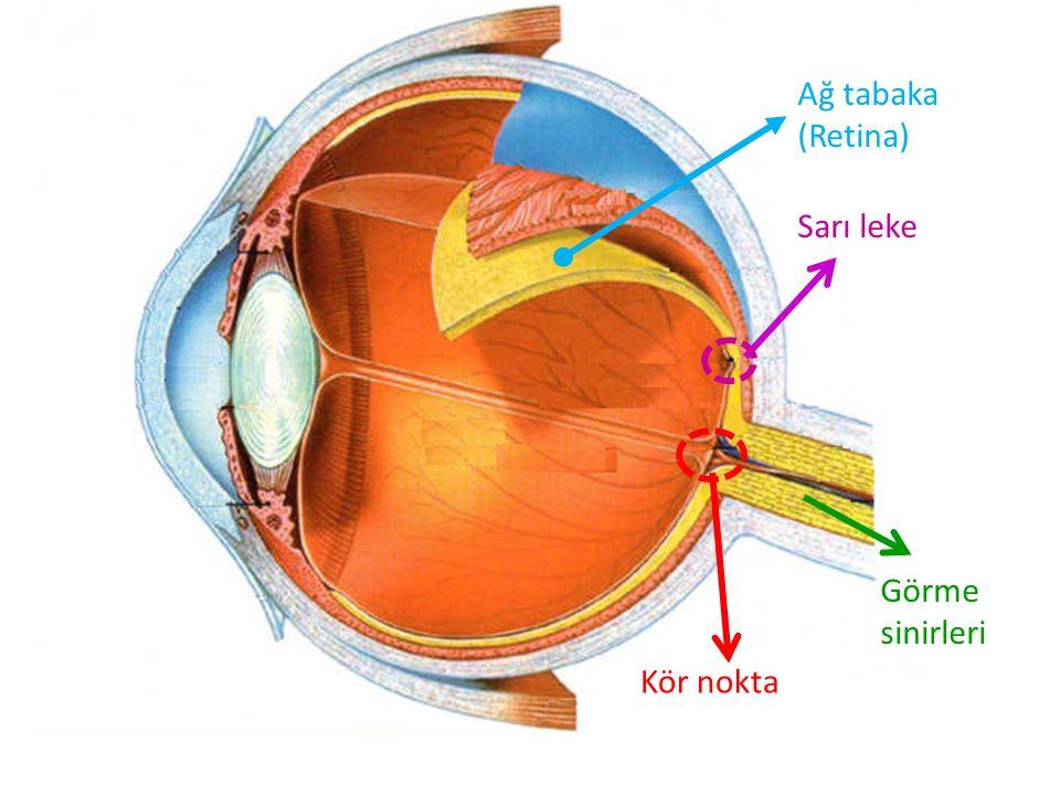 Ağ tabaka (Retina) Sarı leke Görme sinirleri Kör nokta