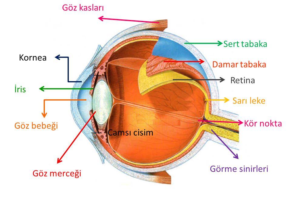 Göz kasları Sert tabaka. Kornea. Damar tabaka. Retina. İris. Sarı leke. Kör nokta. Göz bebeği.