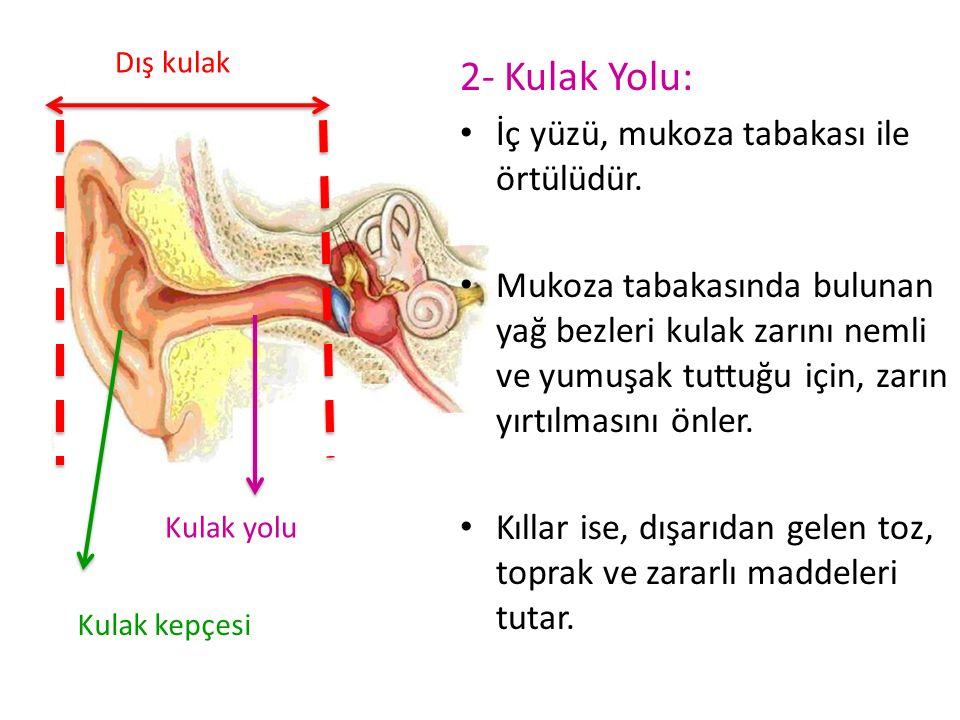 2- Kulak Yolu: İç yüzü, mukoza tabakası ile örtülüdür.