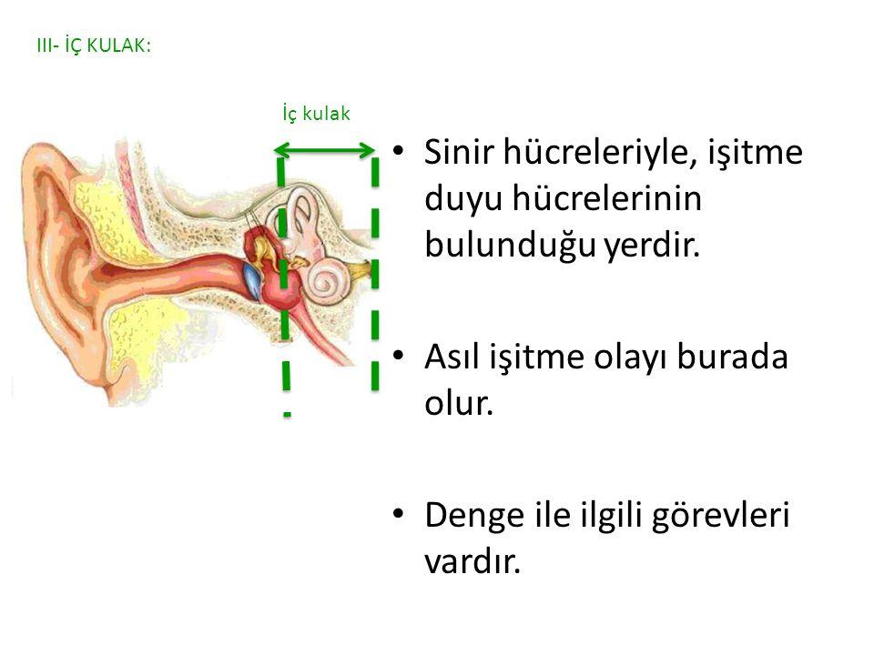 Sinir hücreleriyle, işitme duyu hücrelerinin bulunduğu yerdir.