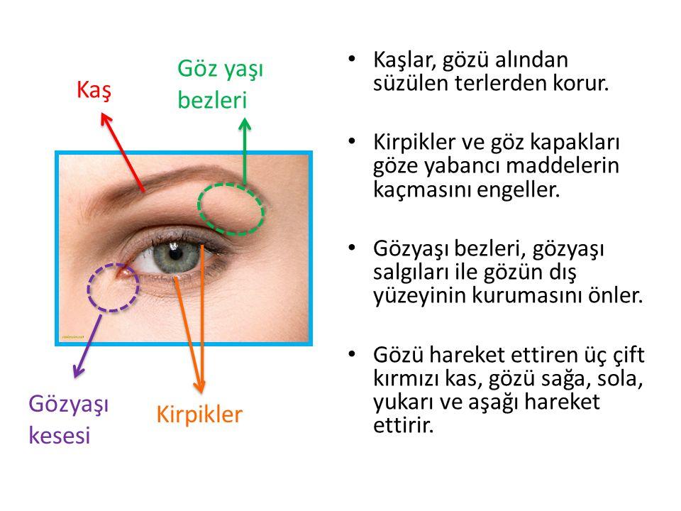Göz yaşı bezleri Kaş Gözyaşı kesesi Kirpikler