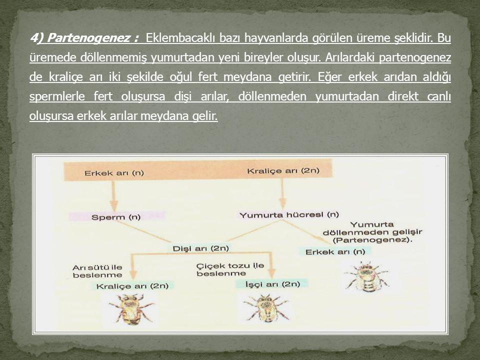 4) Partenogenez : Eklembacaklı bazı hayvanlarda görülen üreme şeklidir