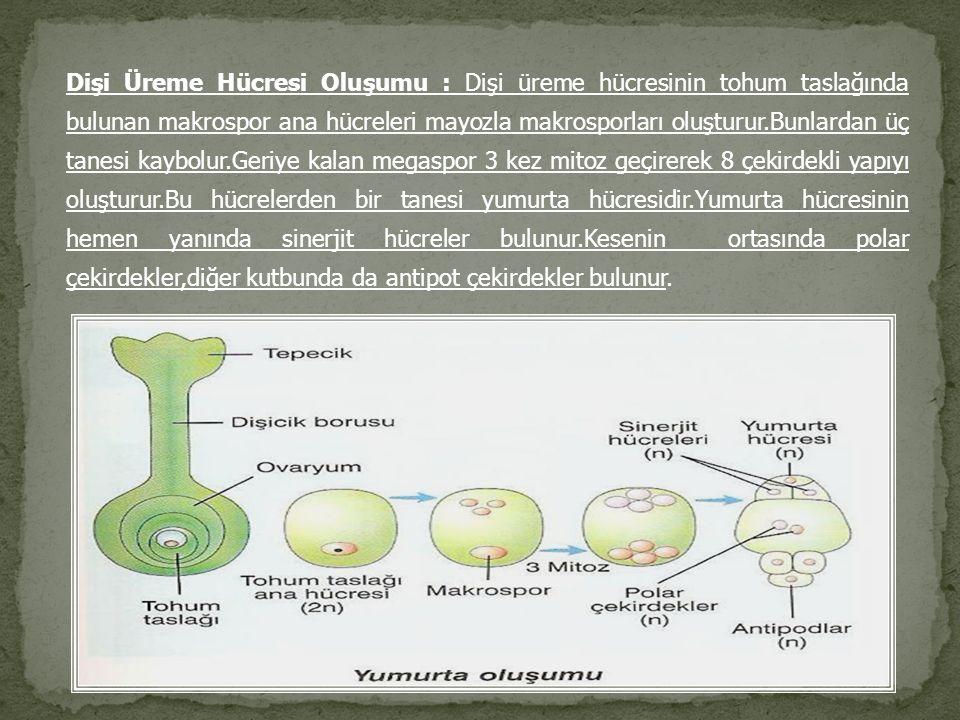 Dişi Üreme Hücresi Oluşumu : Dişi üreme hücresinin tohum taslağında bulunan makrospor ana hücreleri mayozla makrosporları oluşturur.Bunlardan üç tanesi kaybolur.Geriye kalan megaspor 3 kez mitoz geçirerek 8 çekirdekli yapıyı oluşturur.Bu hücrelerden bir tanesi yumurta hücresidir.Yumurta hücresinin hemen yanında sinerjit hücreler bulunur.Kesenin ortasında polar çekirdekler,diğer kutbunda da antipot çekirdekler bulunur.
