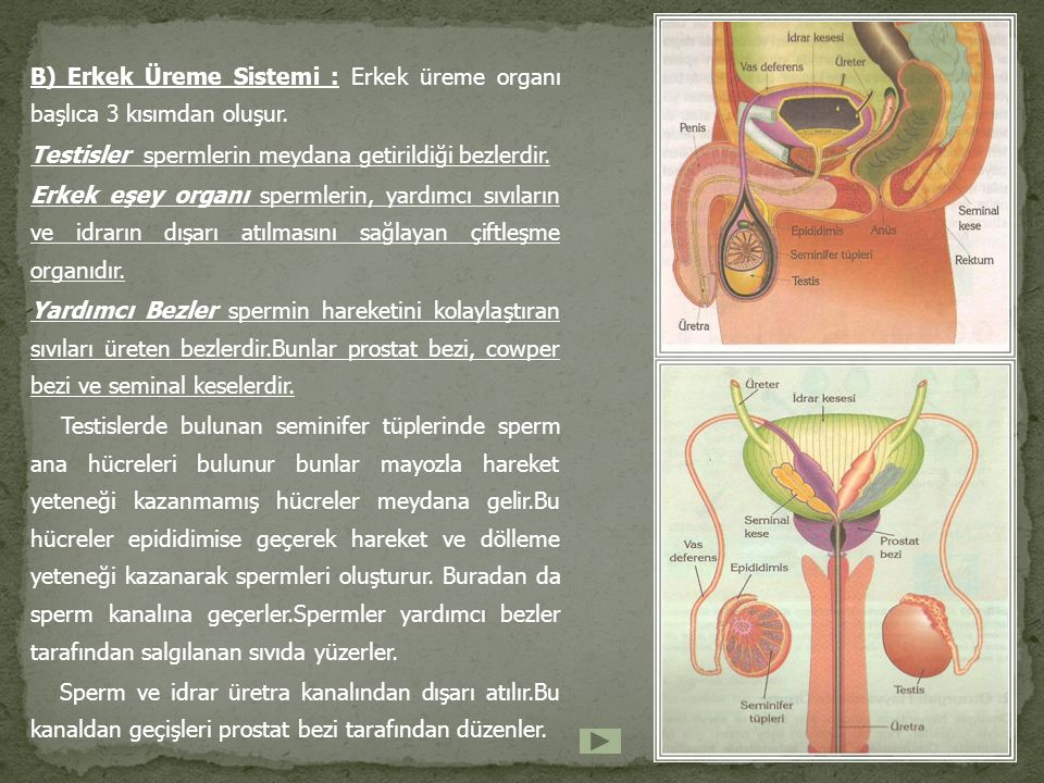 B) Erkek Üreme Sistemi : Erkek üreme organı başlıca 3 kısımdan oluşur.