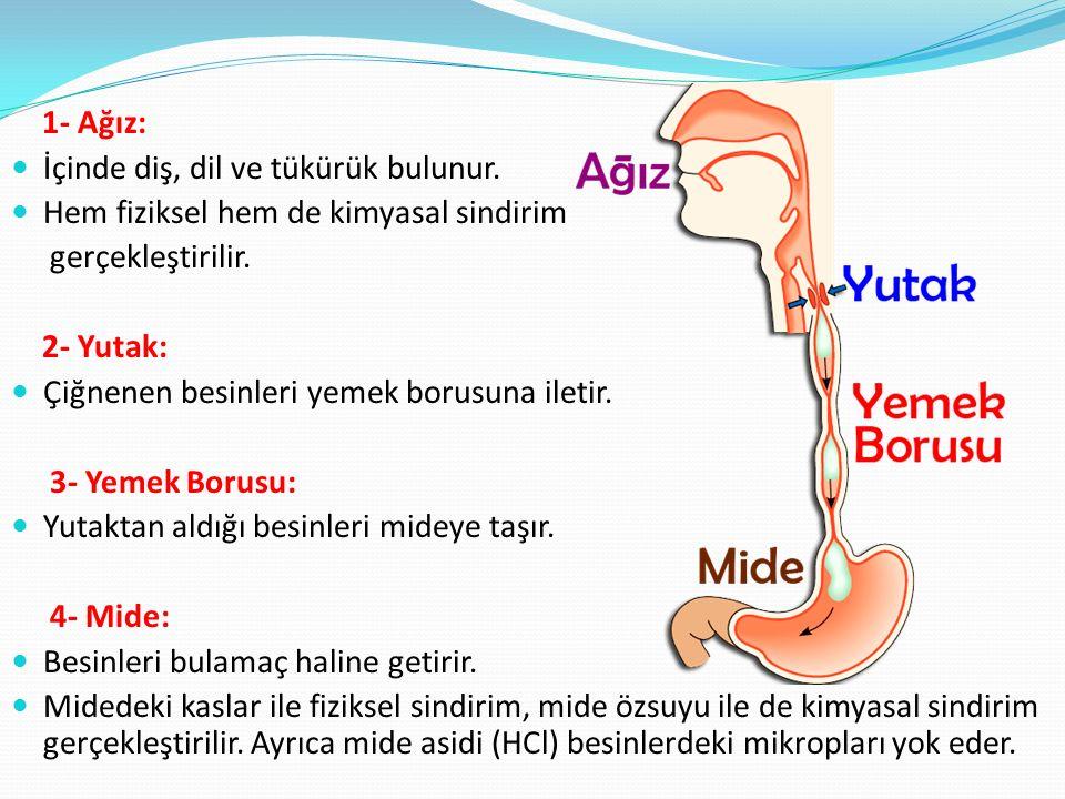 1- Ağız: İçinde diş, dil ve tükürük bulunur. Hem fiziksel hem de kimyasal sindirim. gerçekleştirilir.