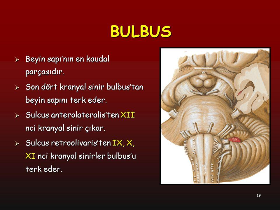 BULBUS Beyin sapı'nın en kaudal parçasıdır.