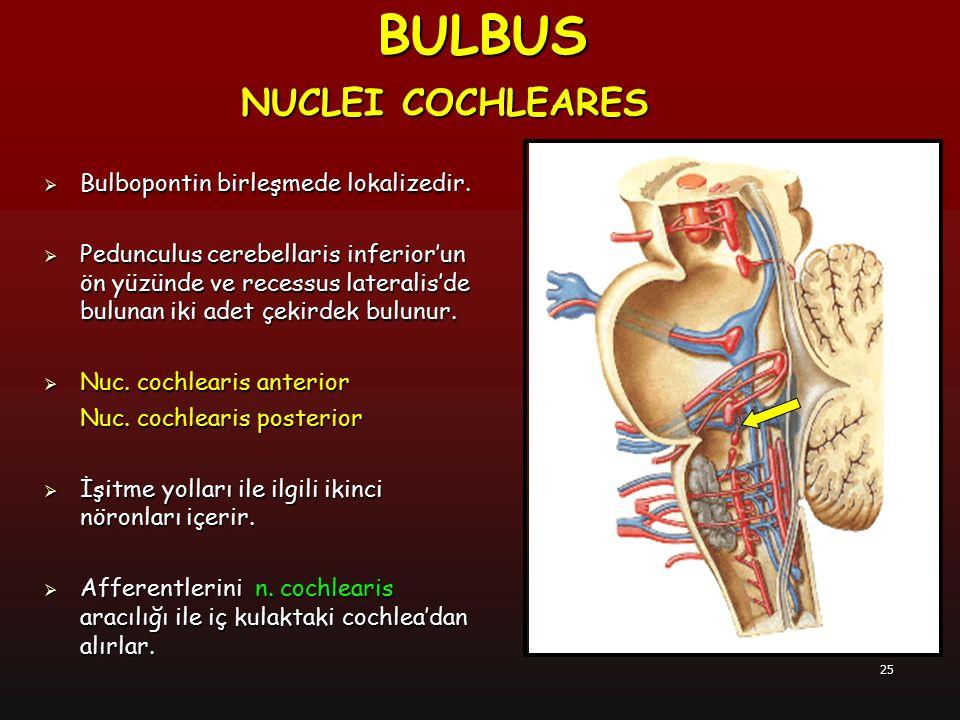BULBUS NUCLEI COCHLEARES Bulbopontin birleşmede lokalizedir.
