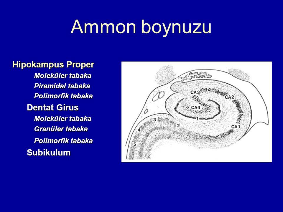 Ammon boynuzu Hipokampus Proper Dentat Girus Subikulum