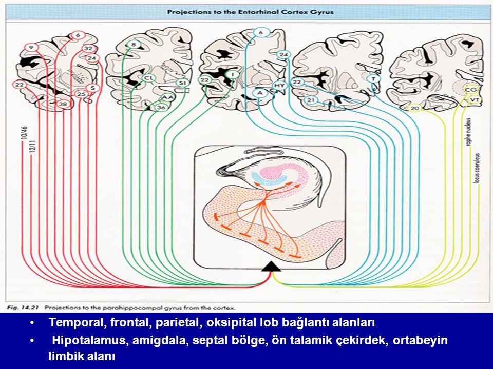 Afferent bağlantılar Temporal, frontal, parietal, oksipital lob bağlantı alanları.