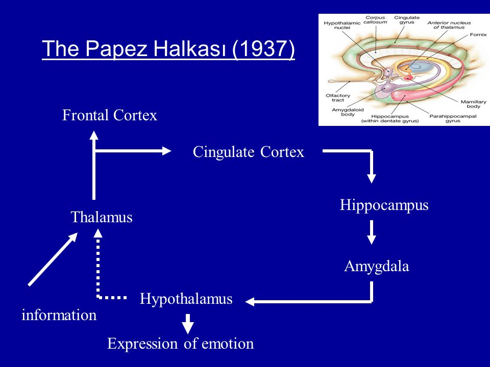 The Papez Halkası (1937) Frontal Cortex Cingulate Cortex Hippocampus