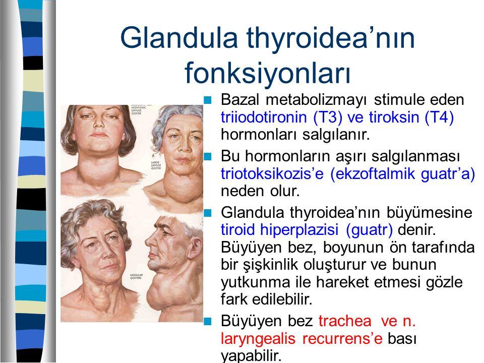 Glandula thyroidea'nın fonksiyonları