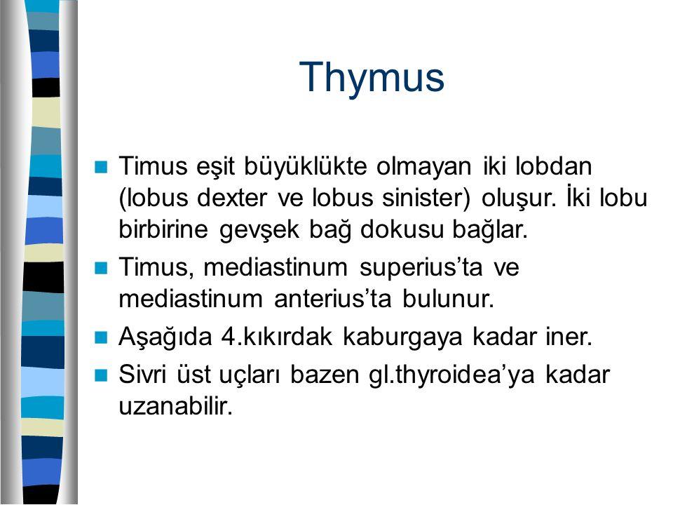 Thymus Timus eşit büyüklükte olmayan iki lobdan (lobus dexter ve lobus sinister) oluşur. İki lobu birbirine gevşek bağ dokusu bağlar.