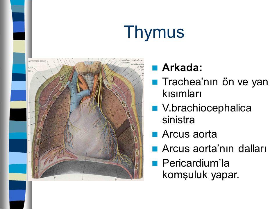 Thymus Arkada: Trachea'nın ön ve yan kısımları