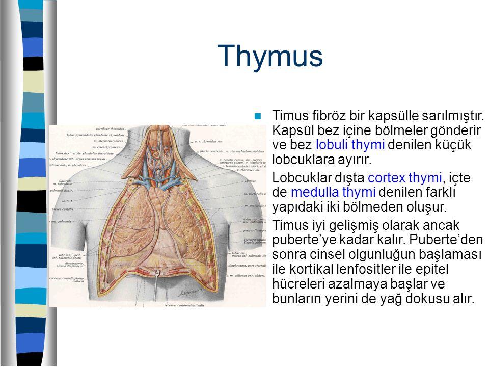 Thymus Timus fibröz bir kapsülle sarılmıştır. Kapsül bez içine bölmeler gönderir ve bez lobuli thymi denilen küçük lobcuklara ayırır.
