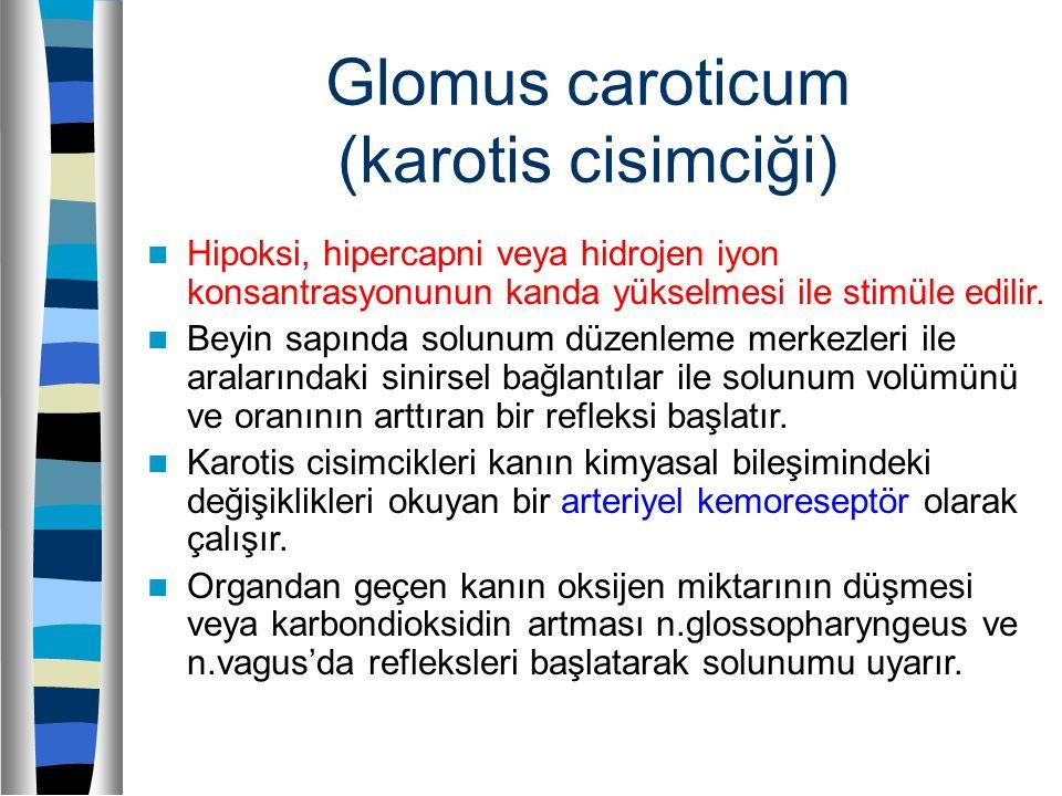 Glomus caroticum (karotis cisimciği)