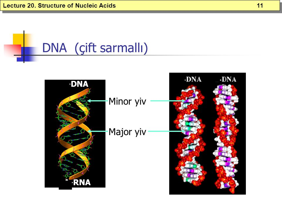 DNA (çift sarmallı) Minor yiv Major yiv A-DNA A-RNA