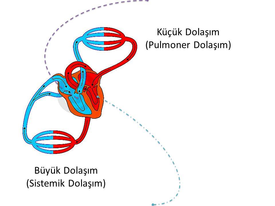 Küçük Dolaşım (Pulmoner Dolaşım)