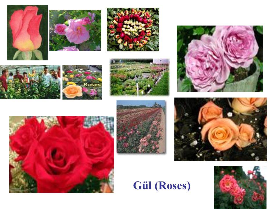 Gül (Roses)