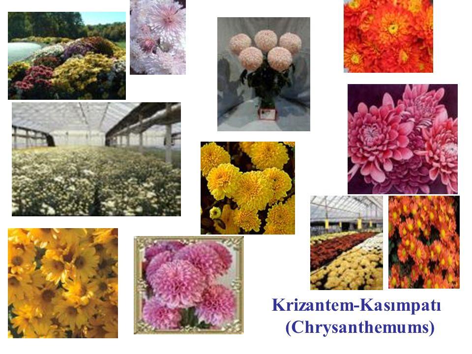 Krizantem-Kasımpatı (Chrysanthemums)