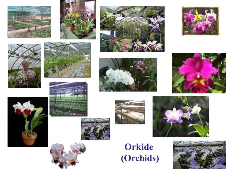 Orkide (Orchids)