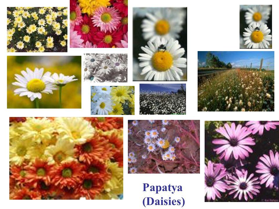 Papatya (Daisies)