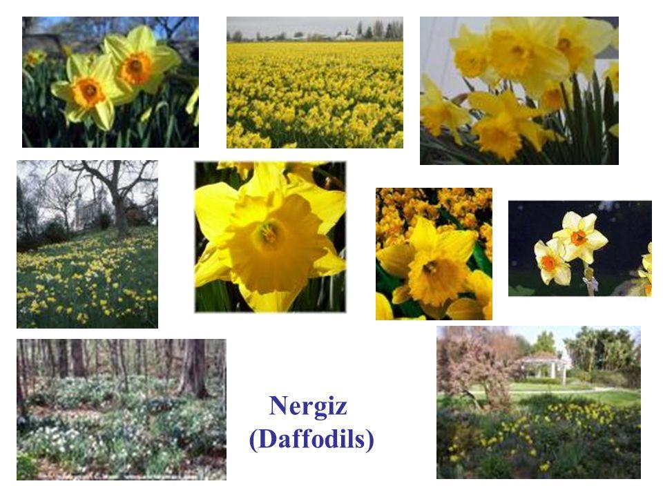Nergiz (Daffodils)